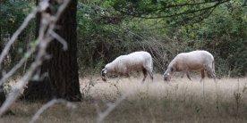 des-moutons-tondent-la-pelouse-de-bordeaux-sciences-agro-a_4043507_1000x500